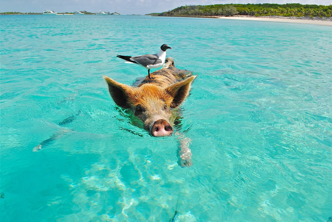 Bird on the back of a pig swimming on the beach